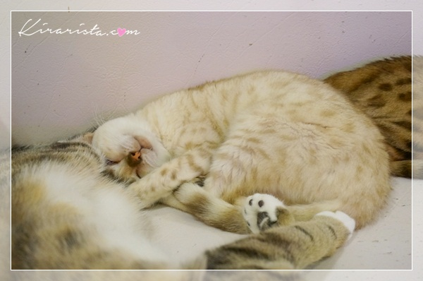 caturday cat cafe_19