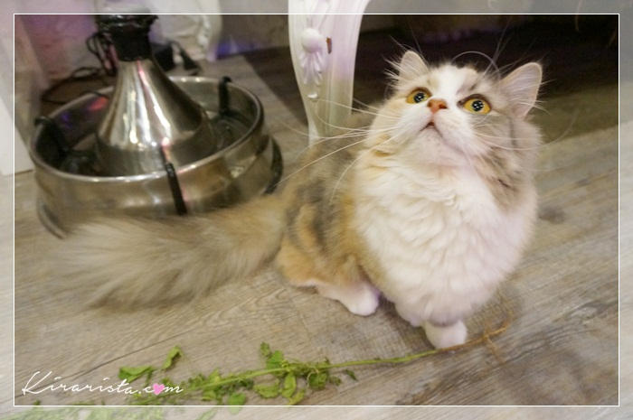 caturday cat cafe_22